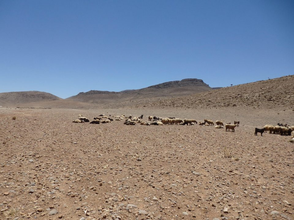アートギャッベの羊毛は、イランの高地の冬を過ごした羊の毛を使います