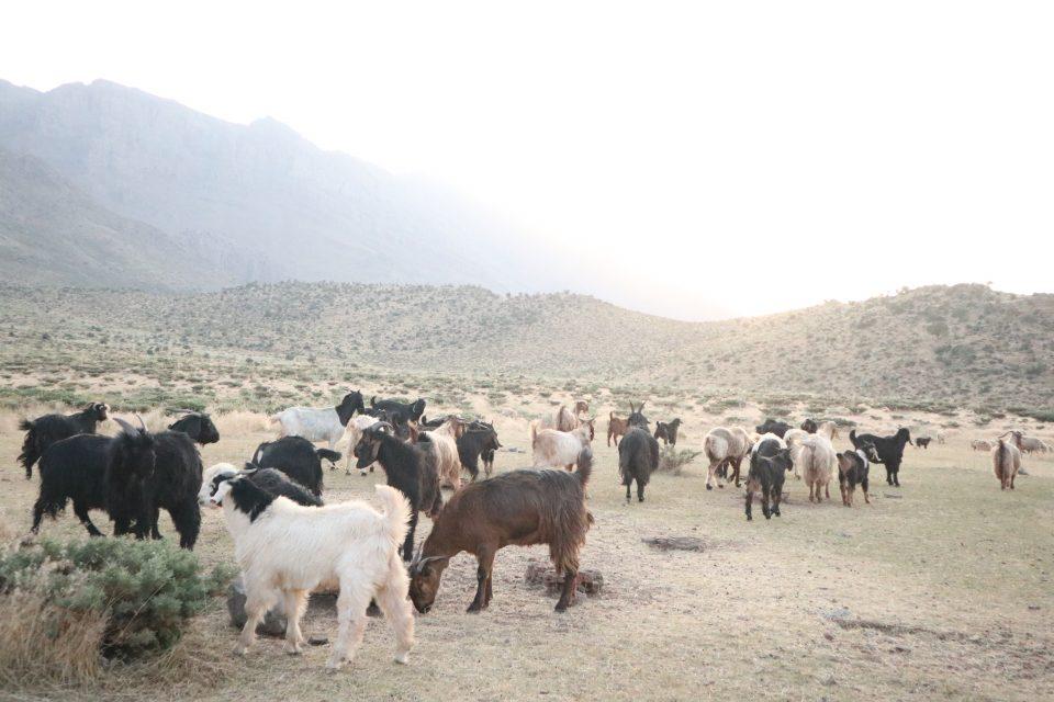 ザクロス山脈の羊