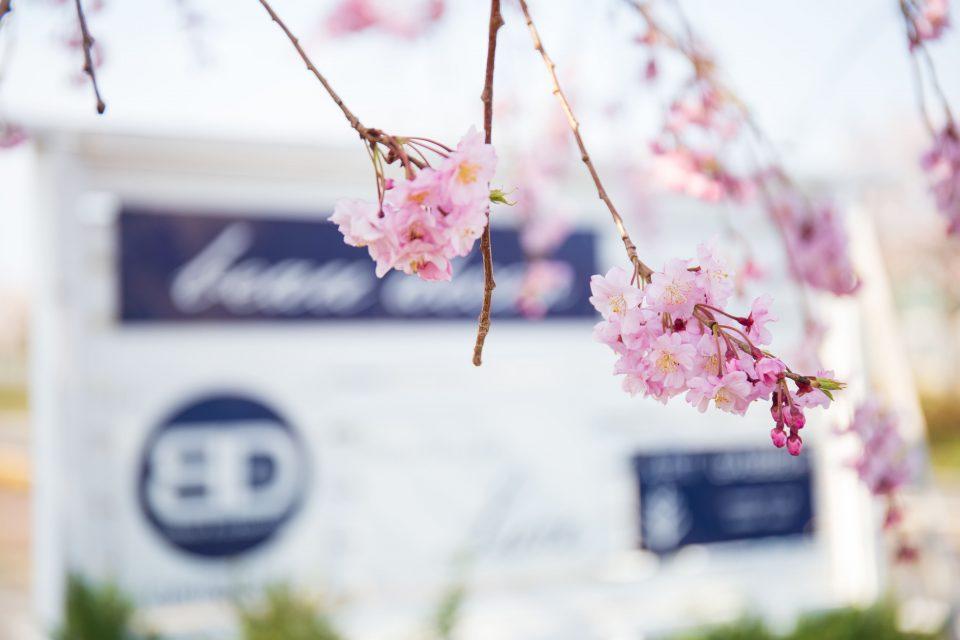 ボーデコールの桜が咲いている様子