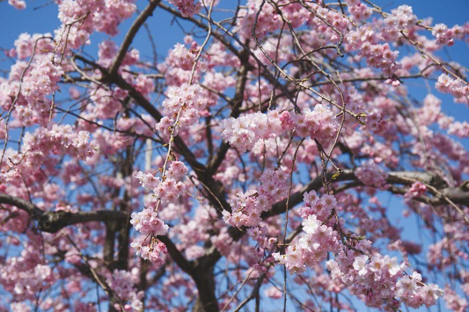 桜 ボーデコール